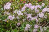 Pink azalea bush in the greenhouse