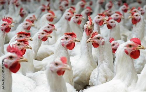 White chickens farm - 136784798