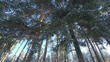 Panorama in the pine forest. View from below at the trees.