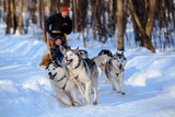 Husky dogs are pulling sledge  at winter forest in Russian forest