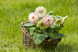gerbera flowers in a basket