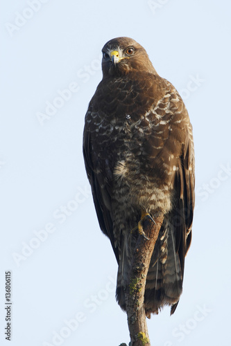 Poster Common Buzzard (Buteo buteo), the Netherlands