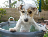 Adorable Jack Russell Terrier getting an unwelcome bath