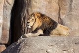 Male Lion sitting on a rock