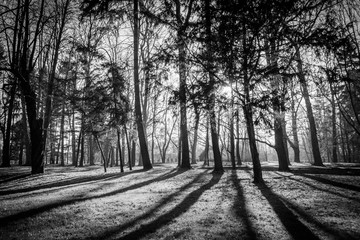 Trees in a park with rays of light and shadows on the ground. Black and white image.