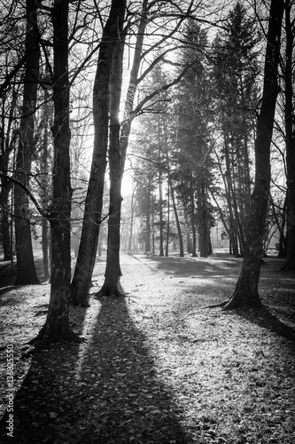 Obraz na płótnie Trees in a park with rays of light and shadows on the ground. Black and white image.