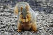 Fox Squirrel Finding Food