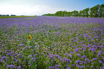 Yellow single Sunflower in the field of purple Phacelia flowers. Honey plants. Beautiful countryside natural landscape