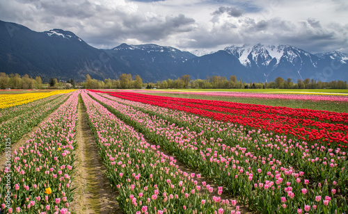 Fotobehang Tulpen colorful tulip field surrounded by snow capped mountains in Agassiz, British Columbia, Canada