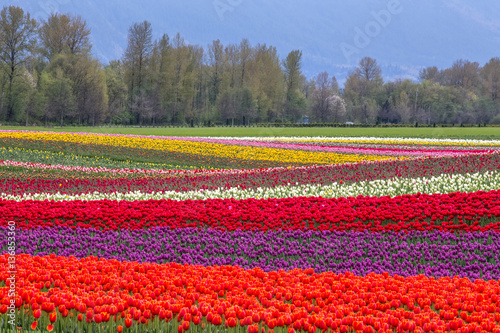 Fotobehang Tulpen colorful rows of tulips in Agassiz, British Columbia, Canada