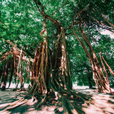 Banyan tree at tropical island at summertime