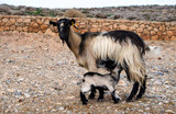 Baby goat lactates from its mother breast, Crete, Greece