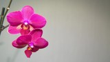 pink Orchid on a light background.
