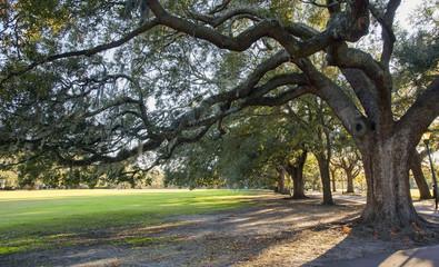Spanish moss on oak trees in Savannah park
