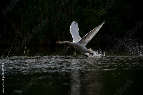 Poster Mute swan on a river in summer