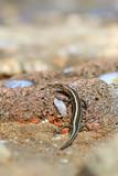 Ящерица многополосная мабуя греется в лучах солнца на тёплых камнях