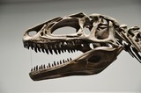 肉食恐竜の頭部骨格