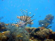 Swimming lionfish at Coron