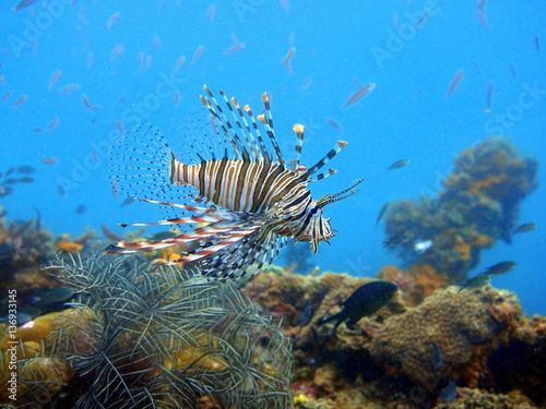 Swimming lionfish at Coron Poster