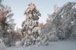 fir tree in the snowy forest, blue sky