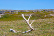 Deer antler found on the russian tundra