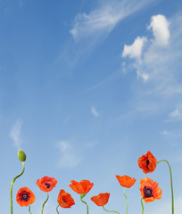 Raw of poppies