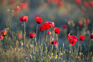 Wild poppies blossoming in steppes in summer