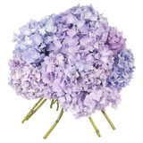 Blue flower hydrangea (Clipping path)