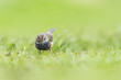 Bluethroat Luscinia svecica cyanecula foraging in grass