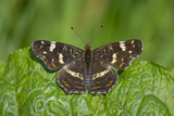 Map butterfly (araschnia levana) close-up top view