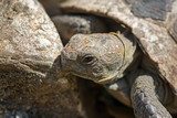old spur-thighed turtle on the garden . Testudo graeca ibera