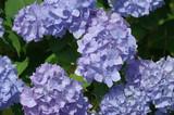 Hortensie blau 2