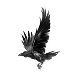 picture isolated flying black crow