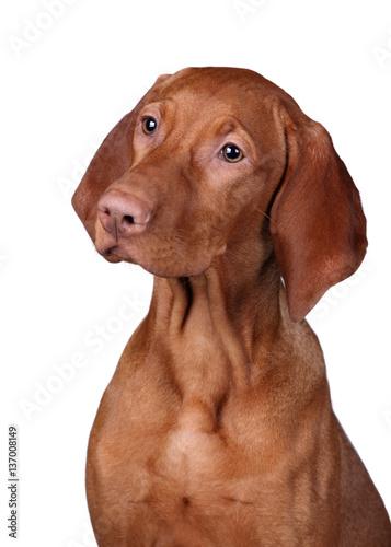 Poster Vizsla Dog on a white background