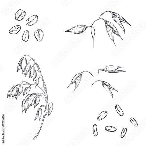 Hand Drawn Set Of Oats Oatmeal Oat Grain Sketch Vector Eps 8