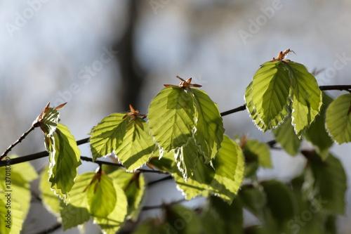 Jeunes feuilles de hêtre au printemps Poster