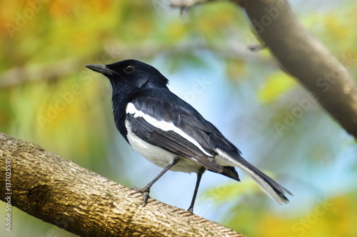 Poster Oriental magpie robin, Copsychus saularis, bird hold on branch