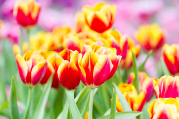 closeup colorful tulips in garden background