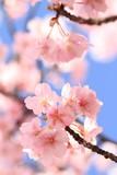 青空と鮮やかな河津桜