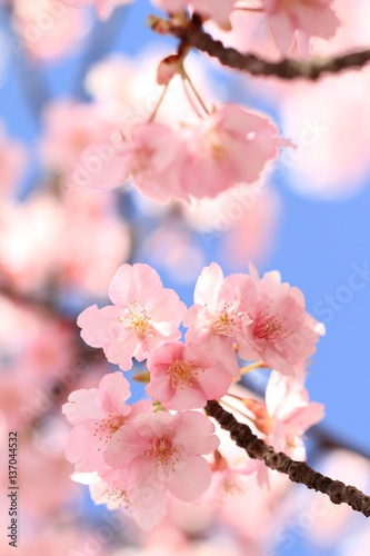 Fotobehang Lichtroze 青空と鮮やかな河津桜