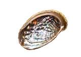 Abalone - Haliotis lamellosa isolated on white background. - 137054350