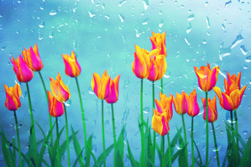 Rain droplets on the glass window with pink orange colored blossom tulip flowers background. Selective focus used.