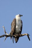 Close up of an White bellied sea eagle,Y ellow Water, Kakadu National Park, Australia