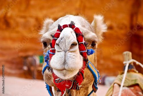 Fotobehang Kameel Camel Face