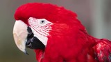 Parrot. Red macaw. Portrait. Big beak. Multi-colored feathers. Nature video. 4K, 3840*2160, high bit rate, UHD
