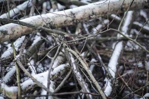 Ветки берёзы в лесу