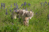 Grey Wolf (Canis lupus) Nuzzled by Pup
