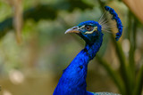 Head of peacock.