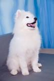 Samoyed dog puppy sitting on a background