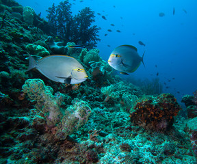 Surgeonfish by coral reef..